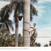 Trepador – лазальщик на пальмы