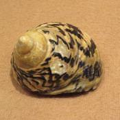 Морская раковина №5