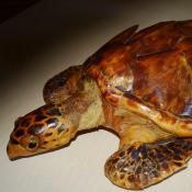 Морская черепашка, фото 3