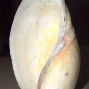 Ракушки-кораколы, фото 3