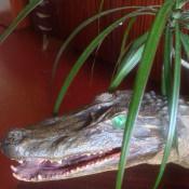 Морда крокодильчика крупным планом