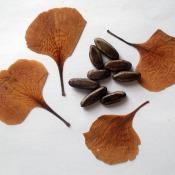 Лепестки цветков и семена дерева фрамбоян