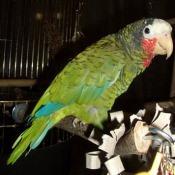 Попугай Петрушка
