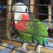 Попугай, которого вывезли с Кубы. Ракурс 2.