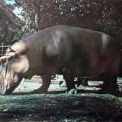 Гиппопотам. Национальный зоопарк