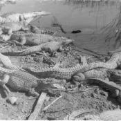 Крокодилий питомник