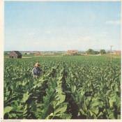 18. Plantacion tabacalera.
