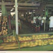 24. Envasadero de citricos.