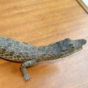 Крокодильчик, набивной, фото 3