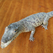 Крокодильчик, набивной, фото 4