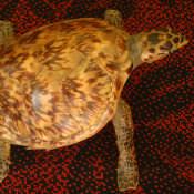 Черепашка, набивная, фото 6