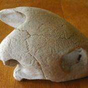 Череп большой черепахи, фото 4