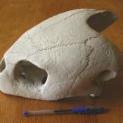 Череп большой черепахи, фото 6