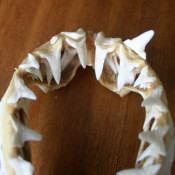 Челюсти малой акулы, фото 4