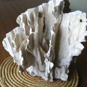 Коралл 6, тип Millepora complanata, фото 4
