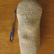 Коралл 7, тип Dendrogyra cylindrus, фото 11