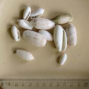 Ракушки Oliva miniacea