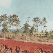 Пинар-дель-Рио. Сосны, красная земля.