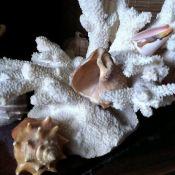 Огромный коралл и морские раковины