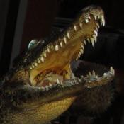 Крокодил, метровый, пасть крупным планом