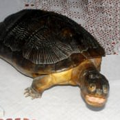 Морская черепаха, 2 ракурс