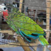 Попугай, которого вывезли с Кубы. Ракурс 1.