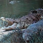Американский крокодил. Национальный зоопарк