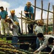 Уборка сахарного тростника. Цветное фото В. Володкина.