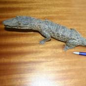 Крокодильчик, набивной, фото 2