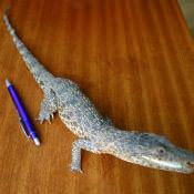 Крокодильчик, набивной, фото 5