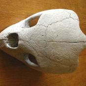 Череп большой черепахи, фото 3