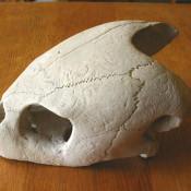 018. Череп большой черепахи, фото 5