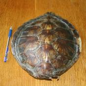 023. Панцирь малой черепахи, фото 1