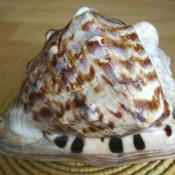 Ракушка Cassis cornuta, фото 8
