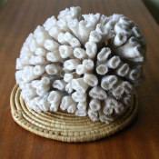 Коралл 2, тип Eusmilia fastigiata, фото 2