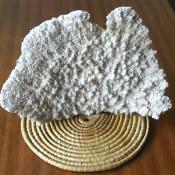 072. Коралл 4, тип Acropora palmata, фото 1