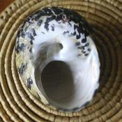 163. Ракушка Cittarium pica, фото 4