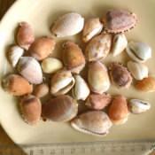 200. Ракушки Cypraecassis testiculus, фото 2