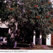 Тюльпанное дерево во Флоресе, 1975
