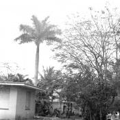 Дом с пальмой на 5 авениде, 1976