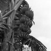 018. Бананы, фото 2