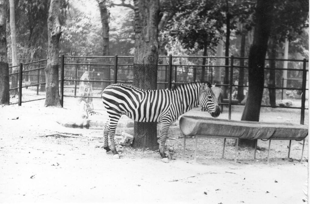 065. Гаванский зоопарк. Зебра.
