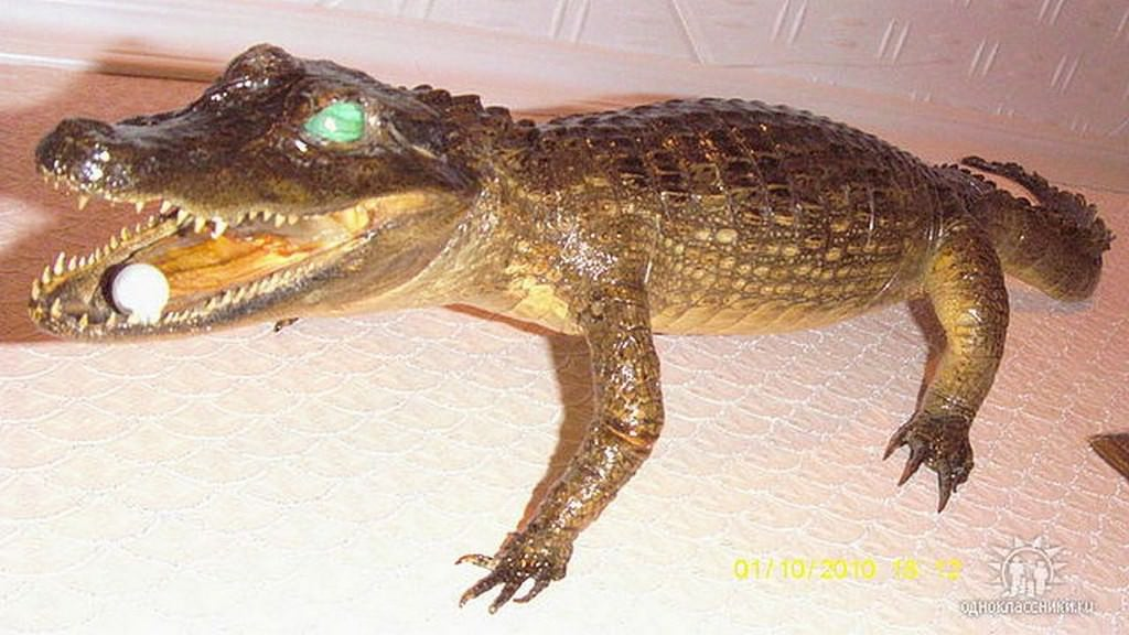 Крокодил-кайманчик