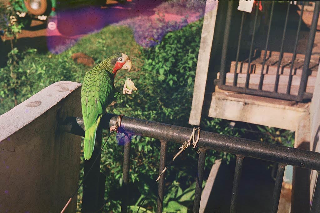 1982. Фото 05. Перико – живой сувенир с Кубы