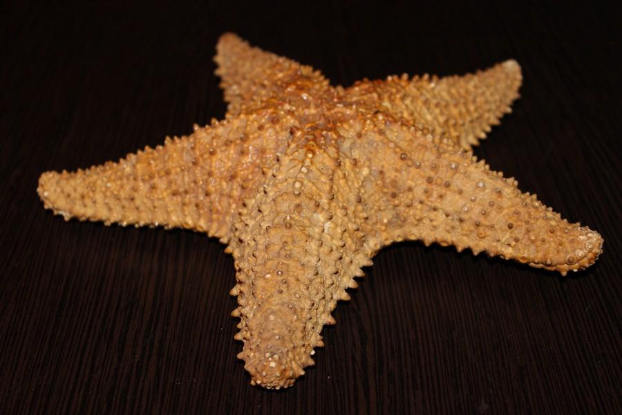 Морская звезда с пляжа Эль-Саладо
