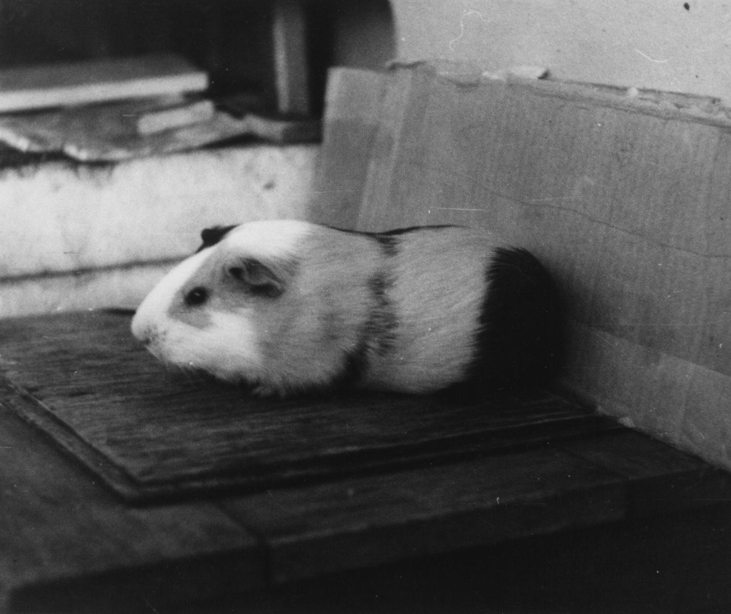 Самый распространенный домашний зверь в Моа - морская свинка. Роло-3. Квартира Андреевых. 1986-1988.