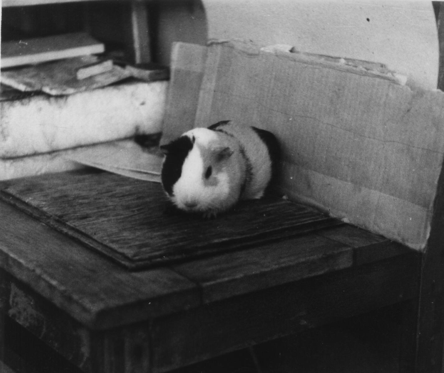 Морская свинка. Роло-3. Квартира Андреевых. 1986-1988.