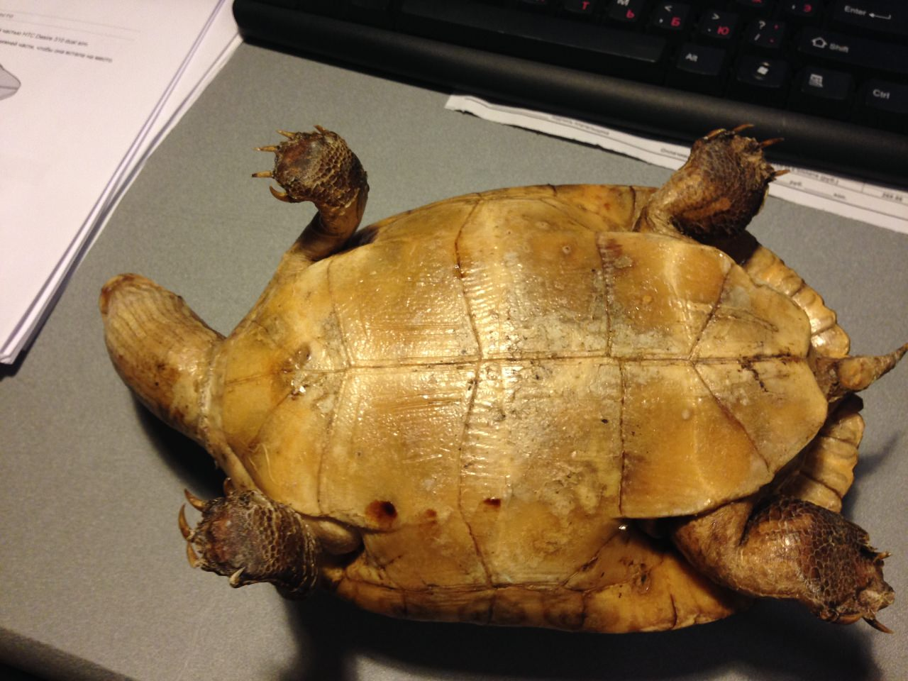 Морская черепашка. Вид 4
