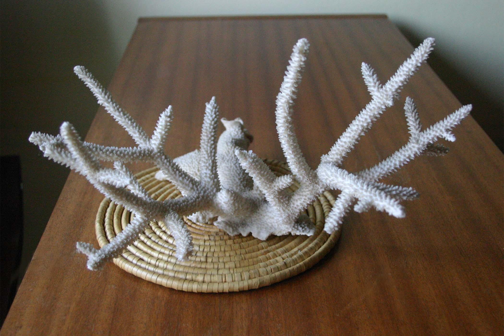 Коралл 1, тип Acropora cervicornis