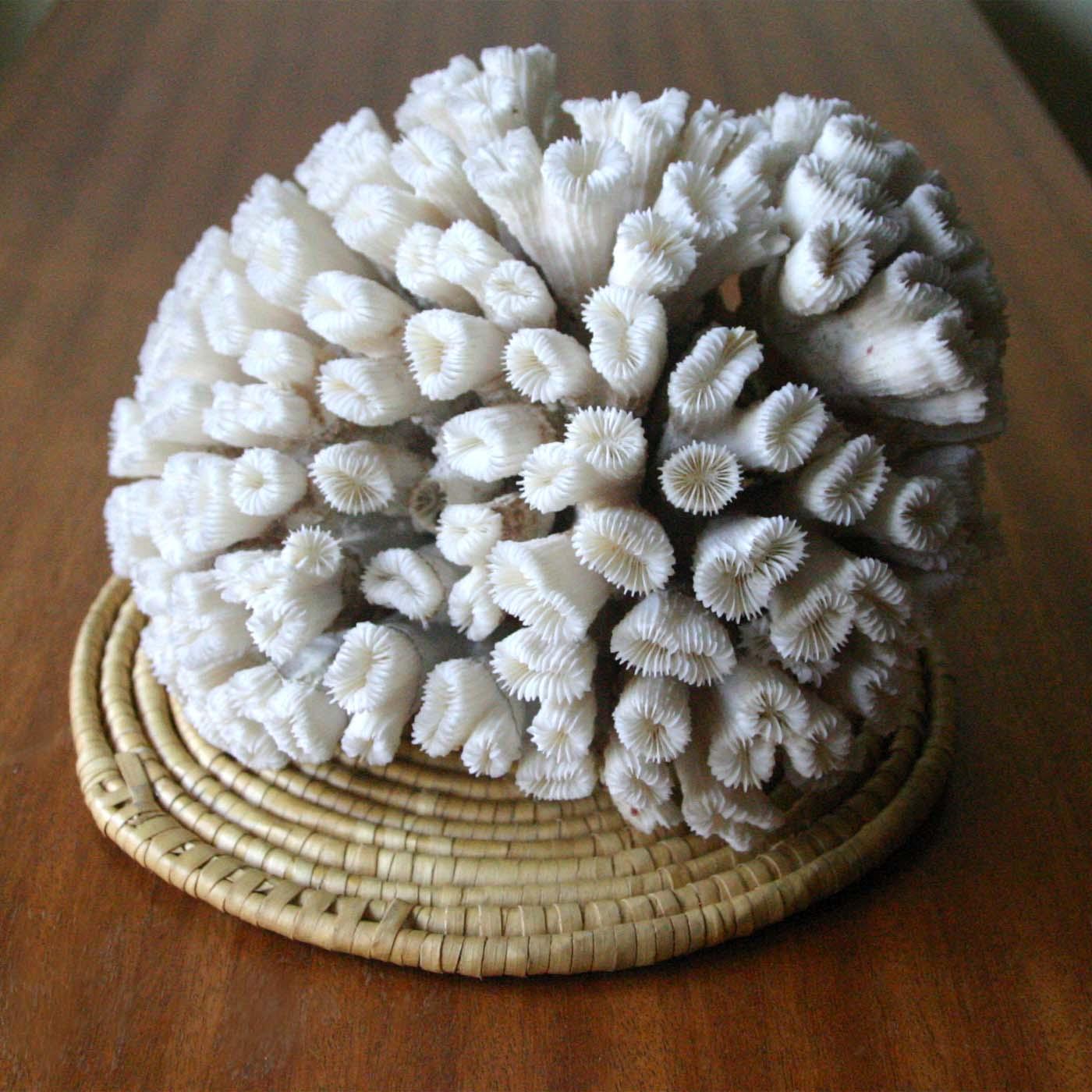 Коралл 2, тип Eusmilia fastigiata